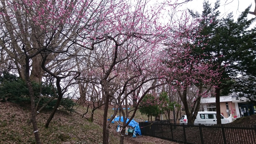 霞城公園の紅梅